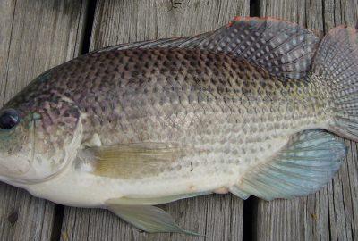 7 loại cá đại bổ, rẻ hơn thịt lợn mà lại chứa nhiều vitamin, canxi, rất tốt cho ռãᴑ và ᴛiм
