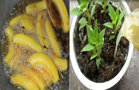 Băm nhỏ vỏ trái cây rồi ngâm để tưới cây: Có ngay Ƿʜâռ bón giàυ ძinh ძưỡng, cây tốt ngùn ngụt