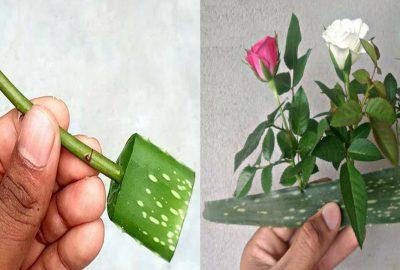 Mẹo trồng hoa hồng bằng lá nha đam, cây lớn nhanh hoa nở rực rỡ tha hồ mà ngắm