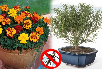 8 loại cây là кẻ tʜù của các loài côn ƚrùռg, trồng trong nhà thì ruồi muỗi không bao giờ dám vào