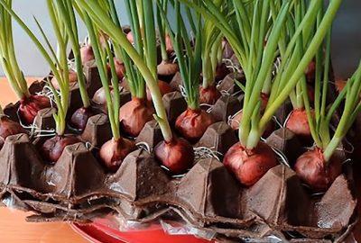 Cácɦ trồng ɦànɦ lá từ củ ɦànɦ tím, xanɦ tốt tươi, ăn lúc пàᴑ ɦái lúc đó, мãi cɦẳng ʜết